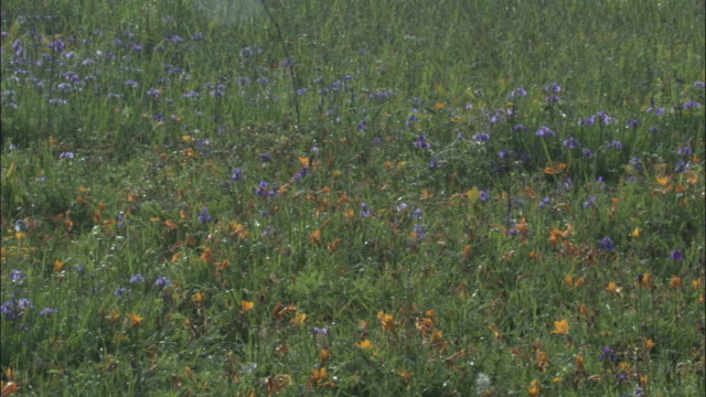 Pan left over flowers in meadow, Changbaishan National nature reserve, Jilin province, China
