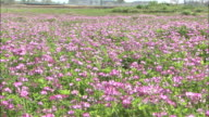 Pan left over meadow of Chinese milk vetch (Astragalus sinicus), Chuo, Yamanashi
