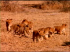 Pan left pass two lionesses walking with large litter of lion cubs following, Botswana