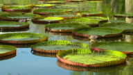 Pan Left Shot Water Lily Pamplemousse Port Louis Mauritius