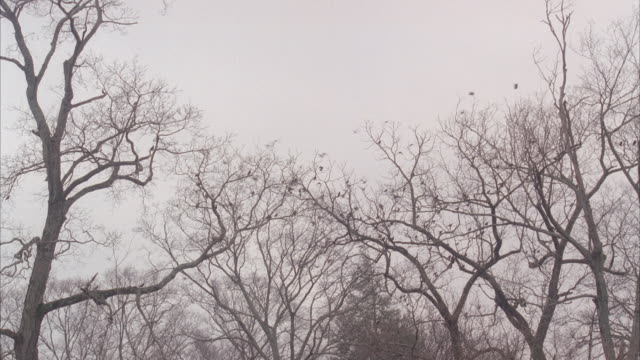 pan left to right of flock of birds flying and landing in bare branches of trees. overcast sky. could be woods or forest.