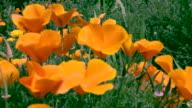 Pan left to right over garden of orange poppy's