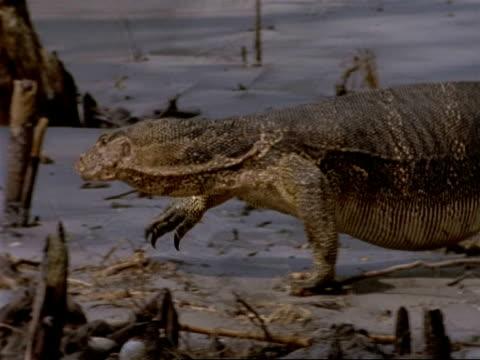 MCU Pan left, Water Monitor Lizard walking through mangrove swamp, India