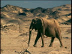 Pan left with Elephant family as they walk then stop and throws dust over themselves, Namibia