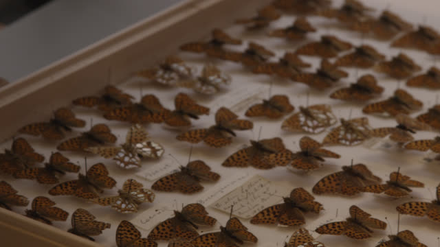 Pan over fritillary butterflies mounted in case, Natural History Museum, London, England