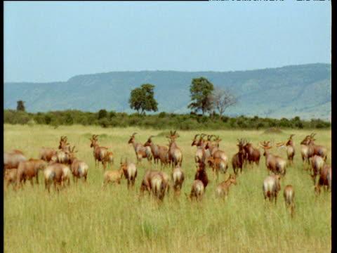 Pan over herd of topi antelope on savanna, Masai Mara