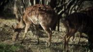 Pan over Kudu grazing under trees.