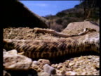 Pan over rattlesnake's body from tail to lifted head, Sonoran desert, USA