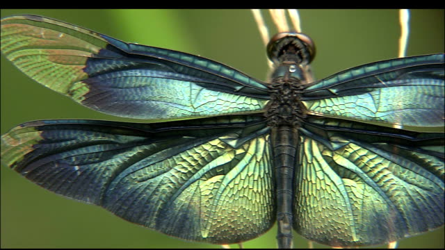 Pan right across iridescent blue-green wings of dragonfly on branch, Iwata