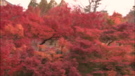 Pan right across tops of maple trees filled with colourful autumn leaves, Kyoto, Japan