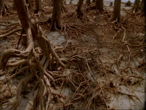MCU Pan right and tilt up to MS of trees with exposed roots, low tide, Mangrove swamp forest, Sunderbans, India