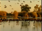 Pan right as large flock of glossy ibis come in to roost in shallows of lake, Diamantina, Queensland, Australia