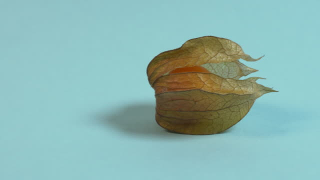 Pan right onto, then off, a solitary physalis fruit against a plain blue background.