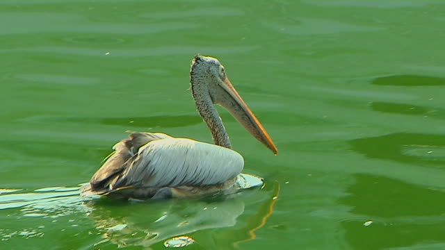 Pan Right Shot Pelican Colombo Western Province Sri Lanka