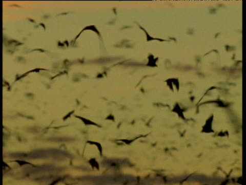 Pan right with swarm of Flying Foxes in flight, Australia
