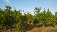 pan shot, mandarine trees in orchard with white house against blue sky