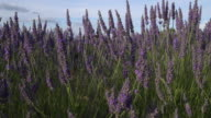 Pan Shot of flowering lavender in field
