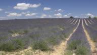 Pan Shot of rows of lavender in field