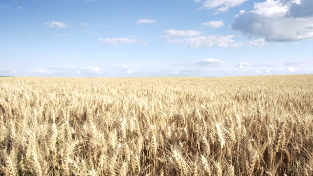 Pan shot of wheat field and beautiful sky