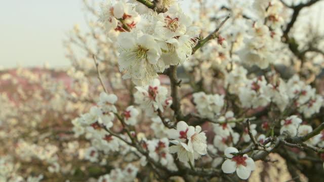 Pan shot of white plum blossoms on tree branches in Ibaraki Kairakuen Garden Tilt up shot of a white plum blossom tree