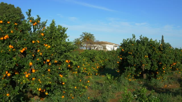 pan shot, orange orchard with white farm house