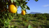 pan shot, ripe oranges hang from branches with orchard and Montgó mountain
