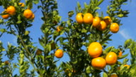 pan shot, sunlight on ripe mandarines and leaves against blue sky