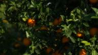 pan shot, sunlight on ripe oranges and leaves