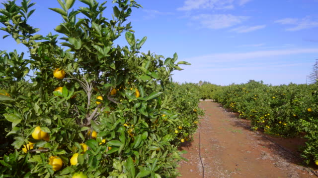 pan shot, sunlit ripe oranges on branches in orange orchard
