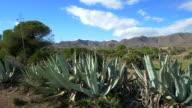 pan shot, wild aloe vera and agave plants in desert landscape against blue sky