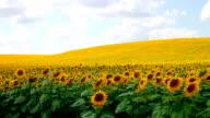 Pan: Sunflower filed, full frame