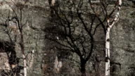 Pan tight shot of Aspen tree without leaves casting shadow on lichen covered rocks.