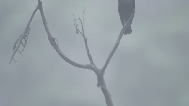 Pan up a bare branch to a bronzed cowbird (Molothrus aeneus) perched at its top.