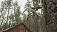 pan up to antlers hanging from tree. wooden shack or cabin in bg. pine trees in forest.