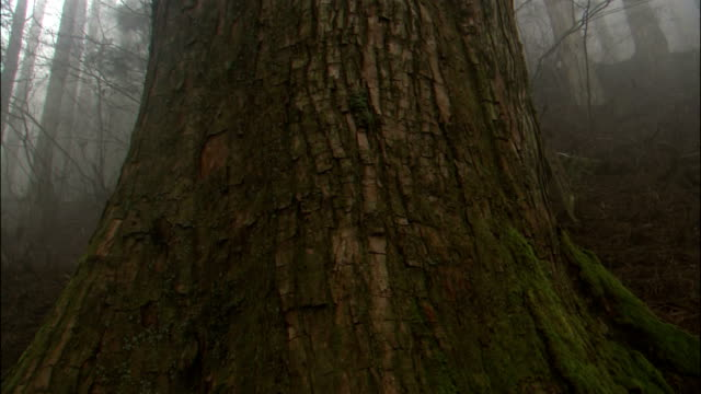 Pan up trunk of large tree, misty forest in background, Kii mountains (regarded as sacred ground and a pilgrimage route), Kumano, Wakayama