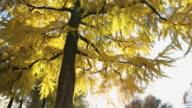 Pan upwards to beautiful autumn color in ginko balboa tree