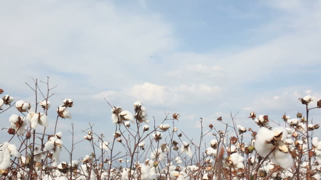 Pan view of cotton field on sky