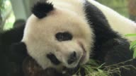 Panda and tigers keep cool at Shanghai zoo as a record breaking heat wave continues to bake China
