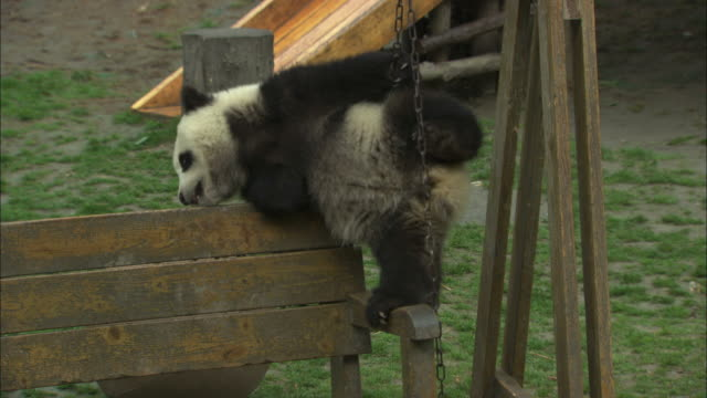 A panda cub hangs on a swinging bench.