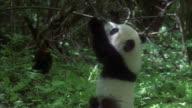 MS panda cub playing in forest, China
