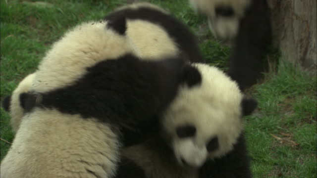 Panda cubs wrestle and play.