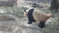 Panda defecating at a zoo in Beijing, China