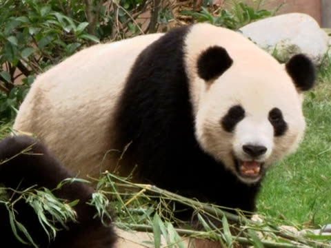 Panda keepers in China are among the lucky few who get to interact with the endangered animals in rewarding but tough work Chendu Sichuan China