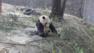 Panda playing at a zoo in Beijing, China