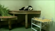 Panda Tian Tian lies in enclosure and covers her face with her paw at Edinburgh Zoo