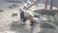 Panda walking at a zoo in Beijing, China