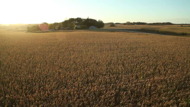 Panning Aerial Backlit Fall Cornfield with Setting Sun