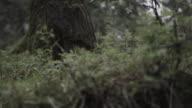 Panning along low growing vegetation in woods