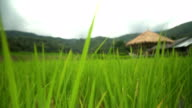panning and focus ona small pavilion among rice terraced fields