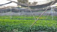 panning: Centella asiatica leaf  farm